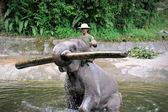 Aziatische olifanten — Stockfoto