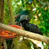 Black Hornbill — Stock Photo