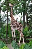 Giraffe (Giraffa camelopardalis rotschildi) — Stock Photo