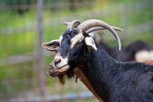 Beautiful brown goat — Stock Photo