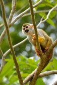 Beautiful squirrel monkey — Stock Photo