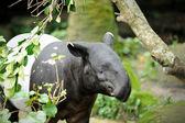 Malayan Tapir (Tapirus Indicus) — Fotografia Stock