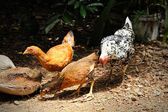 Chicken in poultry farm, — Stock Photo