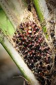 Fresh oil palm fruits — Stock Photo