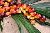 Palm Oil seeds — Stock Photo