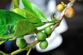 Coffee berries — Stock Photo