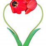������, ������: Tulips on white background
