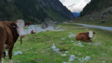 Trekkers and Cows in mountains — Stock Video