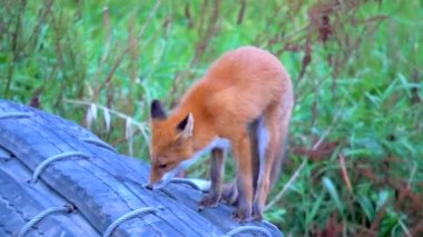 Fox searching for food — Stock Video