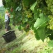 Workers reap the harvest of grapes — Stock Video #67827407