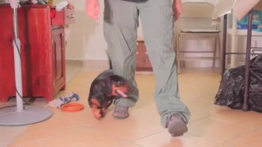 Black dachshund with her trainer — Stock Video