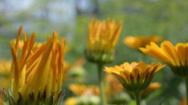 Yellow wild flowers — Stock Video