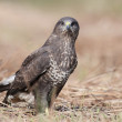 Common buzzard - buteo buteo — Stock Photo #63506965