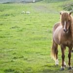 Iceland horse — Stock Photo #56403009