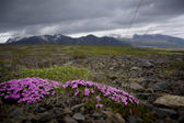 Icelandic flowers — Stock Photo