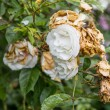 Wilted white roses in late summer — Stock Photo #58812039