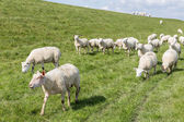 Flock of sheep grazing along a Dutch dike — Stock Photo