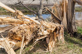 Dutch farmland with blown down tree after heavy spring storm — Stock Photo