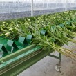 Conveyer belt in Dutch greenhouse for transporting fresh picked lilys — Stock Photo #70435483