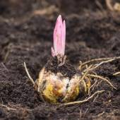 Flower bulb with sprouting purple lily — Stockfoto