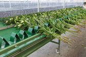 Conveyer belt in Dutch greenhouse for transporting fresh picked lilys — Stock Photo