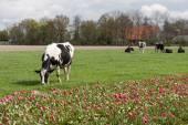 Grazing cows near a Dutch  tulip field — Stock Photo