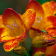 Beautiful freesia flowers with water drops and green insect on it — Stock Photo #55426973