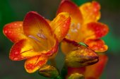 Beautiful freesia flowers with water drops and green insect on it — Stock Photo