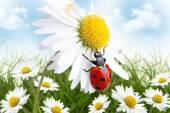 Ladybug on daisy spring background — Stock Photo