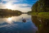 Swan on lake — Stock Photo