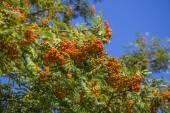 Branch of sea buckthorn berries — Stock Photo
