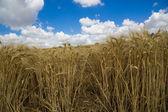 úrody pšenice — Stock fotografie