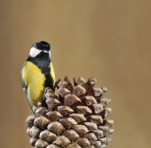 Great tit and pinecone. — Stock Photo