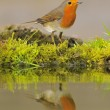 Robin. — Stock Photo #57591739