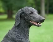 Blue Standard Poodle Outside — Stock Photo