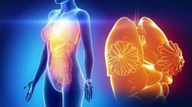 Vrouwelijke organen anatomie — Stockvideo