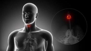 Male THYROID anatomy — Stock Video