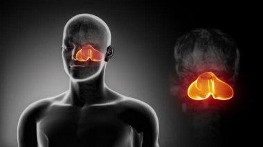 Мужская мозговая анатомия мозжечка — Стоковое видео