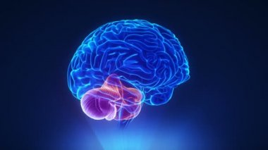 Right cerebellum in brain — Stok video
