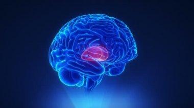 Right thalamus in brain — Stock video