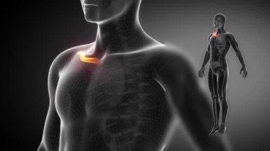 CLAVICLE bone skeleton — Stock Video