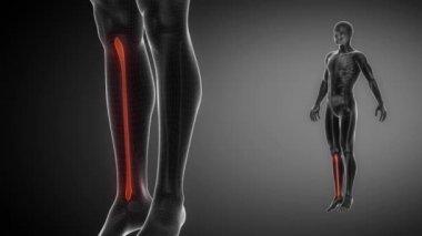 FIBULA bone skeleton — Vídeo de Stock