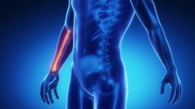 RADIUS bone skeleton — Stock Video