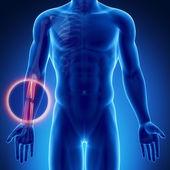 Male bones anatomy — Stock Photo