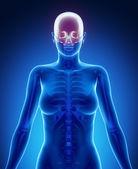 Female body with CRANIUM  bone scan — Stockfoto