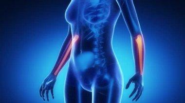 ULNA bone skeleton x-ray scan — Video Stock