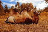 Camel — Foto de Stock
