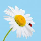 Chamomile and ladybird isolated on blue. Daisy and ladybird. Sum — Stock Photo