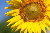 Summer scene about bees that pollinate sunflower. Bee produces h — Stock Photo
