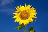 Cena de Verão sobre o girassol. Fundo de flores de verão. — Fotografia Stock